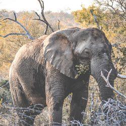 Elefant på safari i Sydafrika