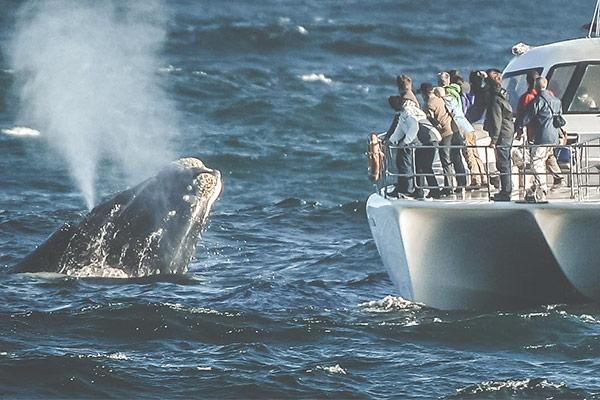 Hermanus är bästa orten att se valar i Sydafrika