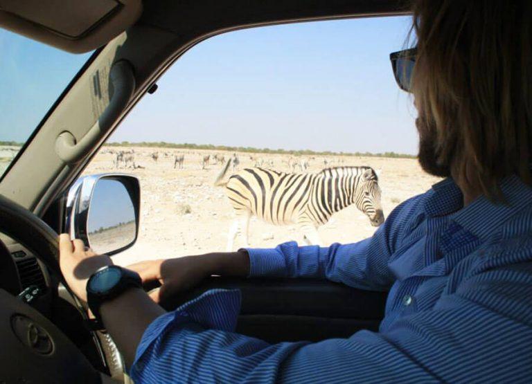 Zebra, safari i krugerparken, Sydafrika