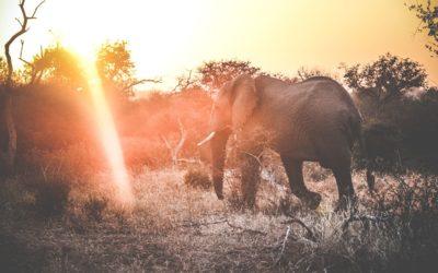 Elefant på safari i Krugerparken