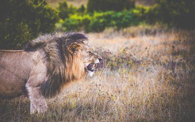 Lejon på safari i Sydafrika