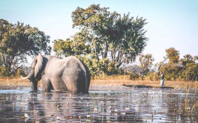 Elefant som syns på en safari i Botswana