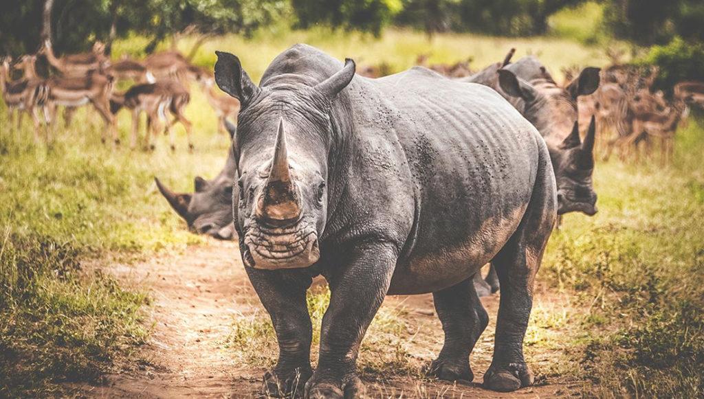 Noshörning på safari i Sydafrika