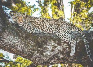 Bästa tiden att se leoparder i Sydafrika
