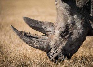 Noshörning har sin bästa tid på safari i södra afrika.