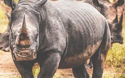Bästa tiden för safari i Sydafrika och se noshörning